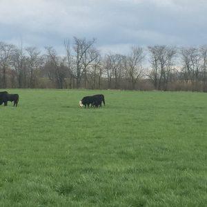Spring beef update